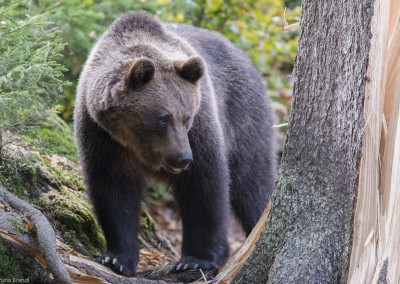 braunbaer-nationalpark-bayerischer-wald-tierfreigelaende