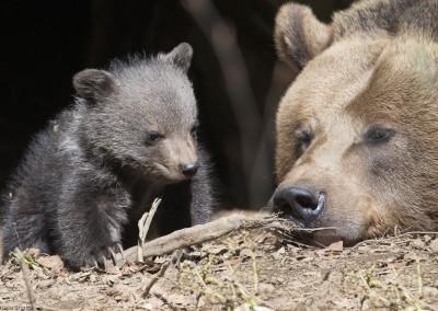 braunbaer-mit-jungtier-nationalpark-bayerischer-wald-tierfreigelaende