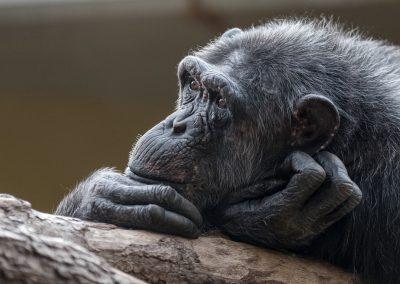 Chimpanse_Heidelberg_Elke_1_1