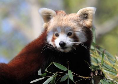 ET_kleiner Panda.Zoo