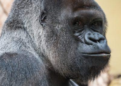 Gorilla_Heidelberg_Horst_1