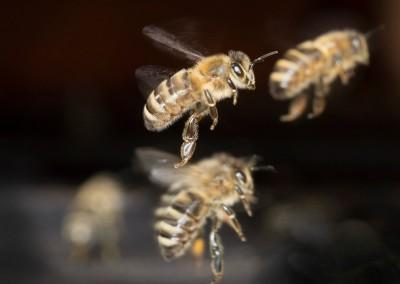 HTC_037 Honigbienengruppe