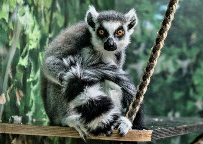 Lemuren_Heidelberg_Elke_1