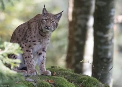 luchs-nationalpark-bayerischer-wald-tierfreigelaende_b2