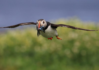 MV_020_Puffin_Flug