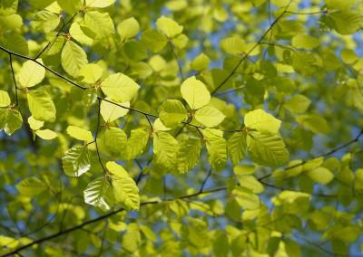 Beech Tree Leaves in Spring, Spessart, Bavaria, Germany