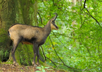 Chamois, Rupicapra rupicapra, in the Forest