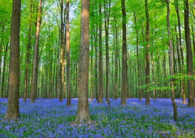 Forest with Bluebells