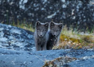 Polar Fox, Lagopus alopex, Disko Bay, Ilulissat, Greenland, North America