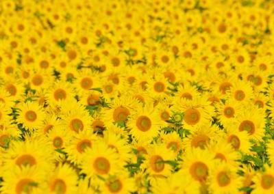 Sunflower Field in Summer, Arnstein, Franconia, Bavaria, Germany
