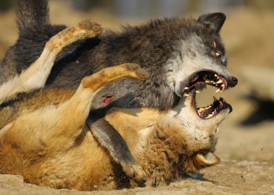 Wolves Battle in the Mating Period , Germany