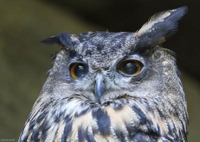 uhu-nationalpark-bayerischer-wald-tierfreigelaende