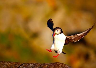 WU_Papageitaucher bei der Landung