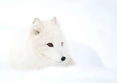 WU_Polarfuchs - Portrait