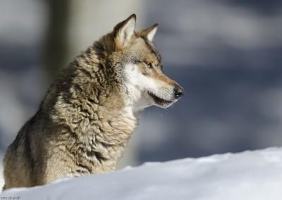 wolf-nationalpark-bayerischer-wald-tierfreigelaende_b2