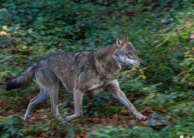 Wolf_II_Neuschönau_Horst