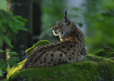 AT_Luchs_01
