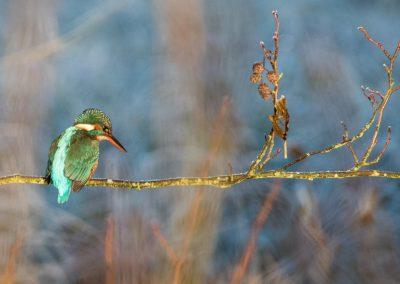 Eisvogel 2