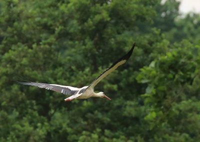 Storch Flug 3