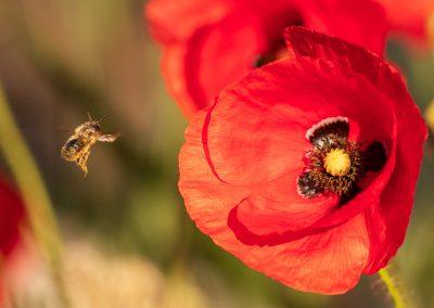 BW-Kinzig-Auen-Biene und Mohnblüte_MG_4783