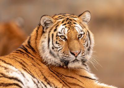 HW_Tiger