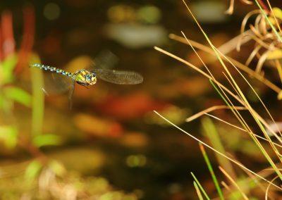 Blaugrüne Mosaikjungfer im Anflug