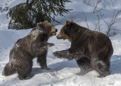 Braunbär-Nationalpark Bayerischer Wald-Tierfreigelände