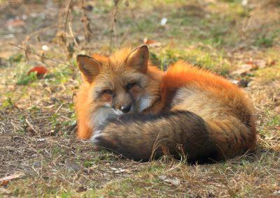 Fuchs beim Sonnenbad