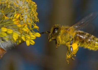 Honigbiene,Deutschland_001