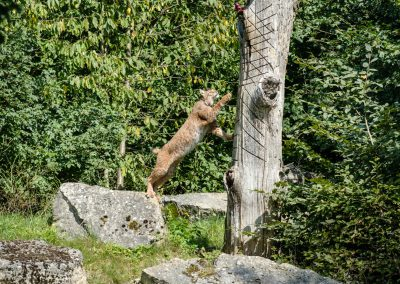 Luchs_Bad Mergentheim_Elke_1