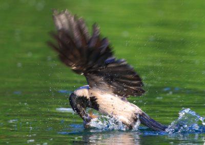 Nebelkrähe beim Fischfang