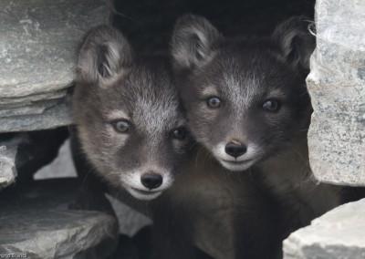 polarfuechse-jungtiere_dovrefjell_norwegen