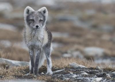 polarfuchs_dovrefjell_norwegen