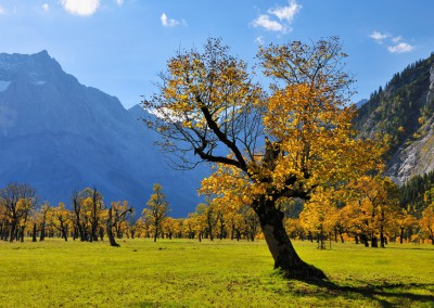 Maple Tree in Autumn, Grosser Ahornboden, Karwendel, Eng, Tyrol, Austria