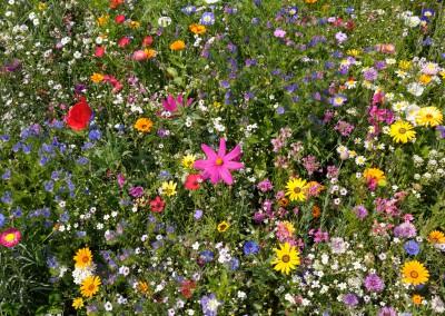 Blooming meadow in summer, Franconia, Bavaria, Germany