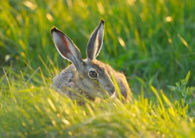 Brown Hare, Lepus europaeus in Meadow, Tadten, Hanság, Burgenland, Austria