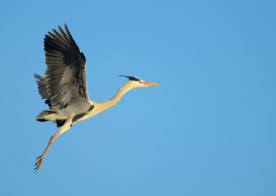 Grey Heron in Flight, Spring, Bavaria, Germany