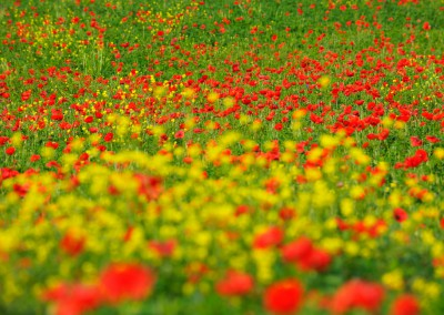 Poppies in Meadow, Spring, Val d' Orcia, San Quirico d' Orcia, Tuscany, Italy