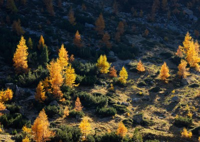 Larch Trees in Autumn, Fluelapass, Susch, Grisons, Switzerland