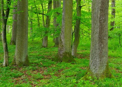 Oak Tree Forest, in Spring, Bad Mergentheim, Baden Wurttemberg, Germany