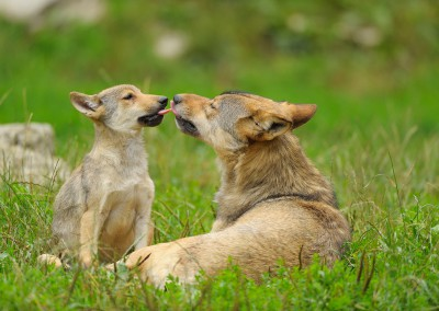 Wolf, Canis lupus, and Cub, Summer, Germany