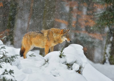 Wolf, Canis lupus, Neuschoenau, National Park Bavarian Forest, Bavaria, Germany