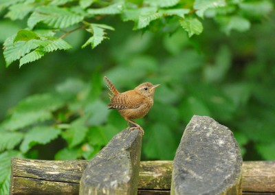 Wren, Troglodytes troglodytes, at Wood Fence, Bavaria, Germany