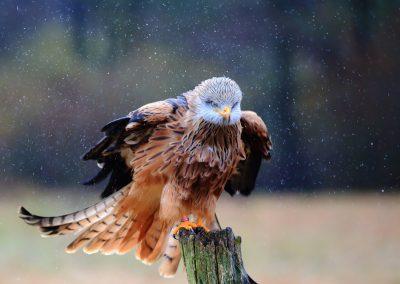 Rotmilan im Regen