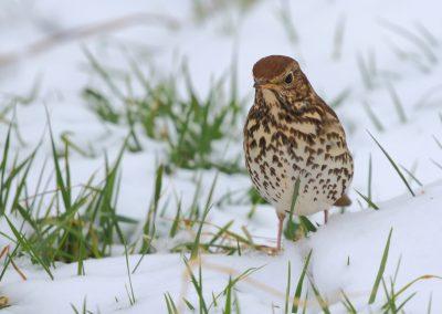 Singdrossel im Schnee
