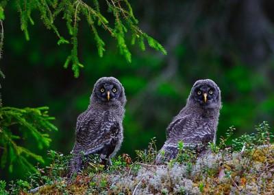 WU_Bartkauz Jungvogel - Wald in Schweden