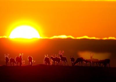 WU_Rentierherde vor aufgehender Sonne