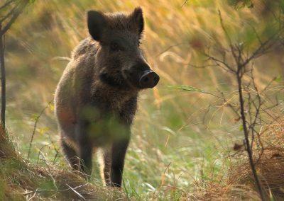 Wildschwein am Darßer Ort