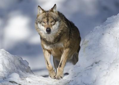 wolf-nationalpark-bayerischer-wald-tierfreigelaende_b1
