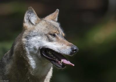 wolf-nationalpark-bayerischer-wald-tierfreigelaende_b3